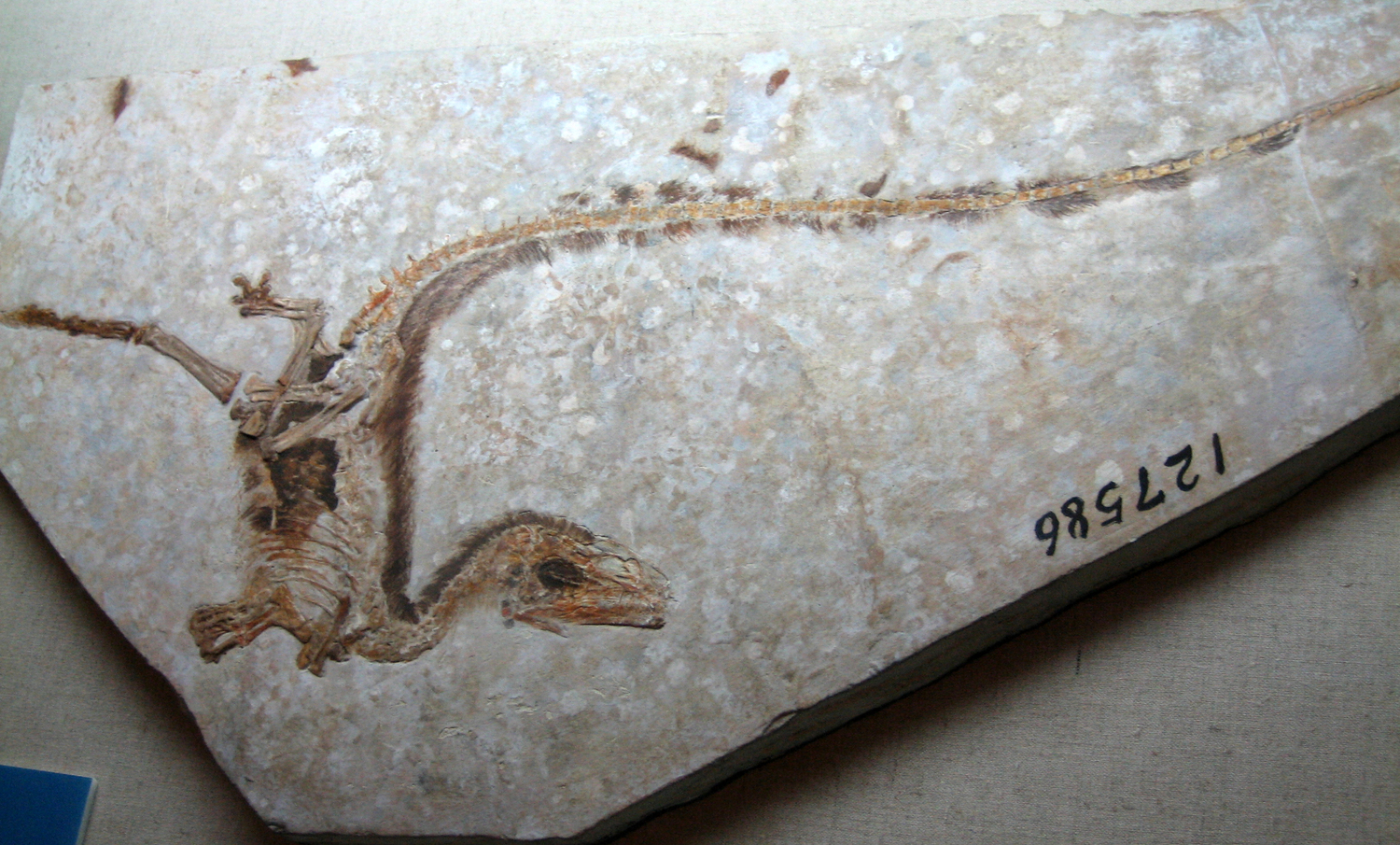 Sinosauropteryx type specimen with filament impressions, Inner Mongolia Museum