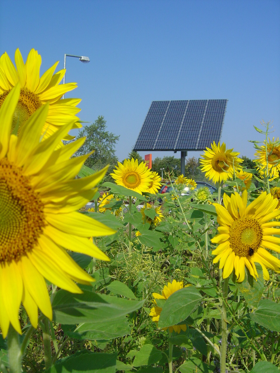 Sunflowers and Solar Panels