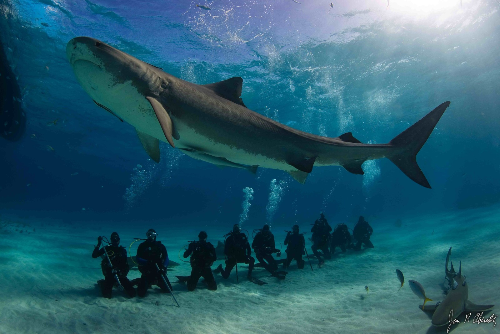 Tiger Shark dive tourism