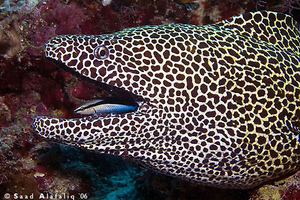 Cleaner wrasse and moray eel