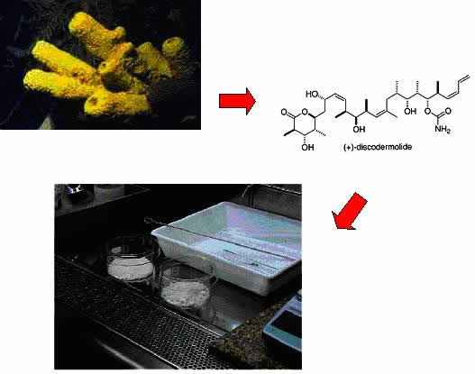 Figure 2: The story of discodermolide. Identified originally in small amounts in the yellow Caribbean deep-sea sponge Discodermia dissolute, the chemical structure was identified, and is now produced synthetically in large amounts.