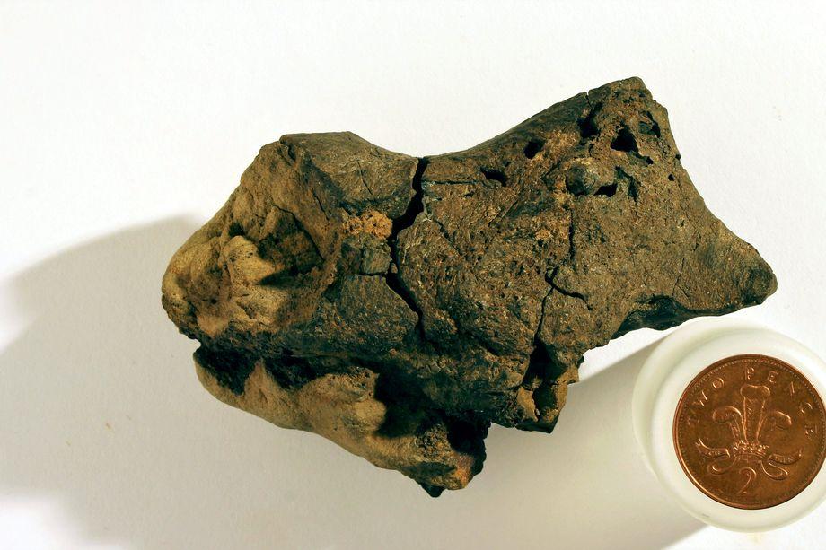 Fossilised dinosaur brain