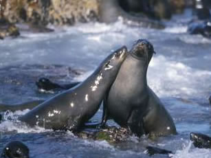 South African fur seals on Geyser Rock, off the coast of Gansbaai, South Africa
