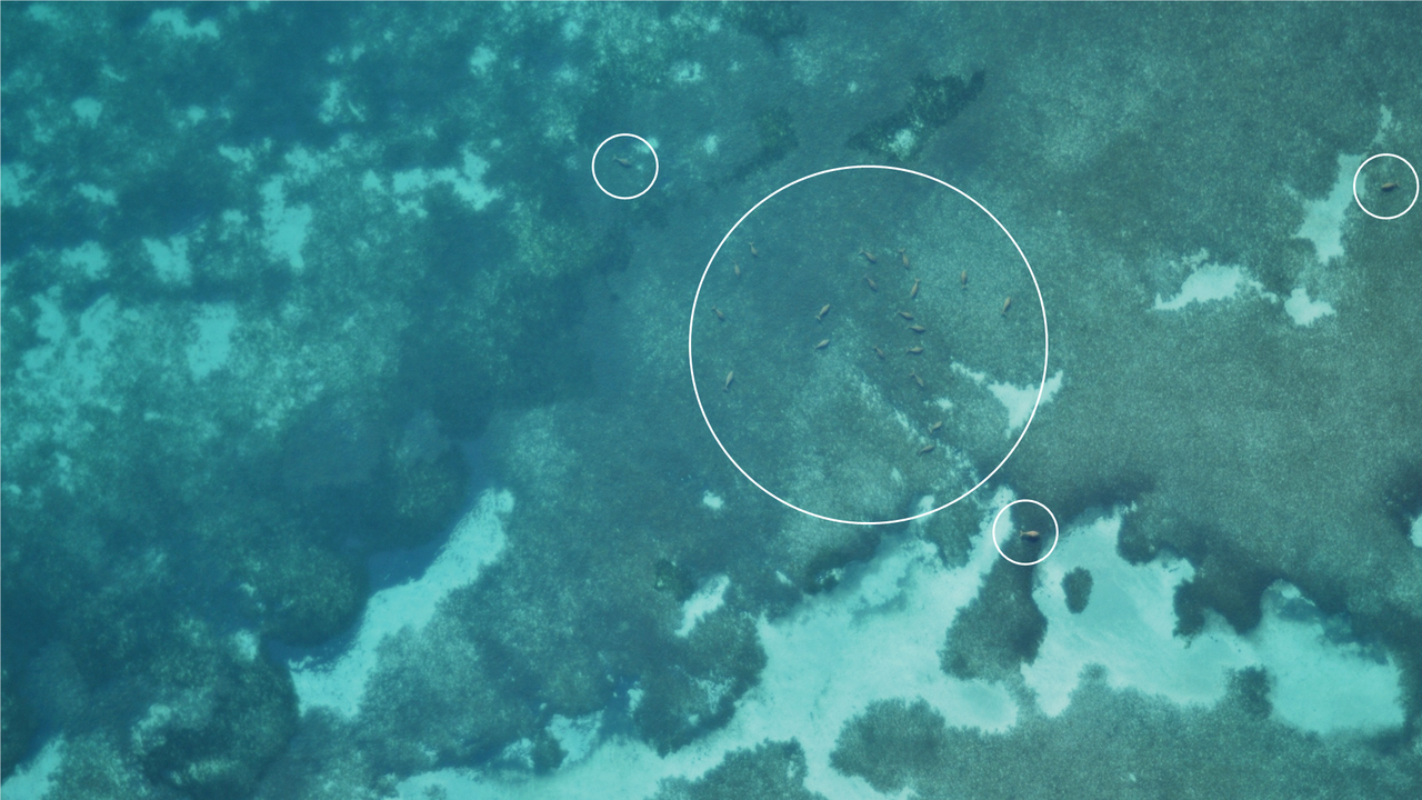 Dugongs spotted in images captured by drones