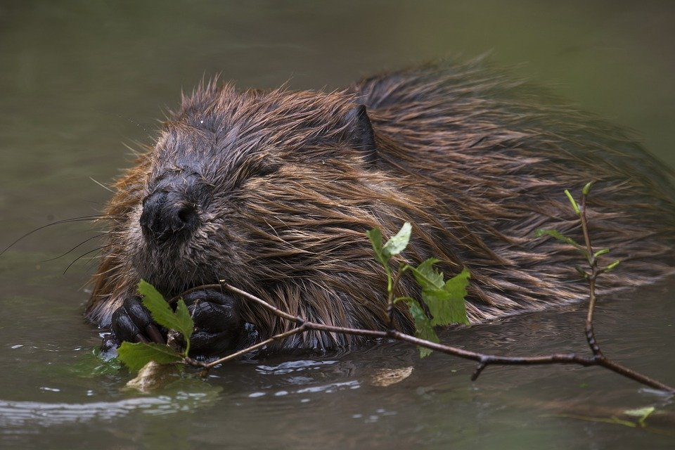A beaver chewing on a twig in water