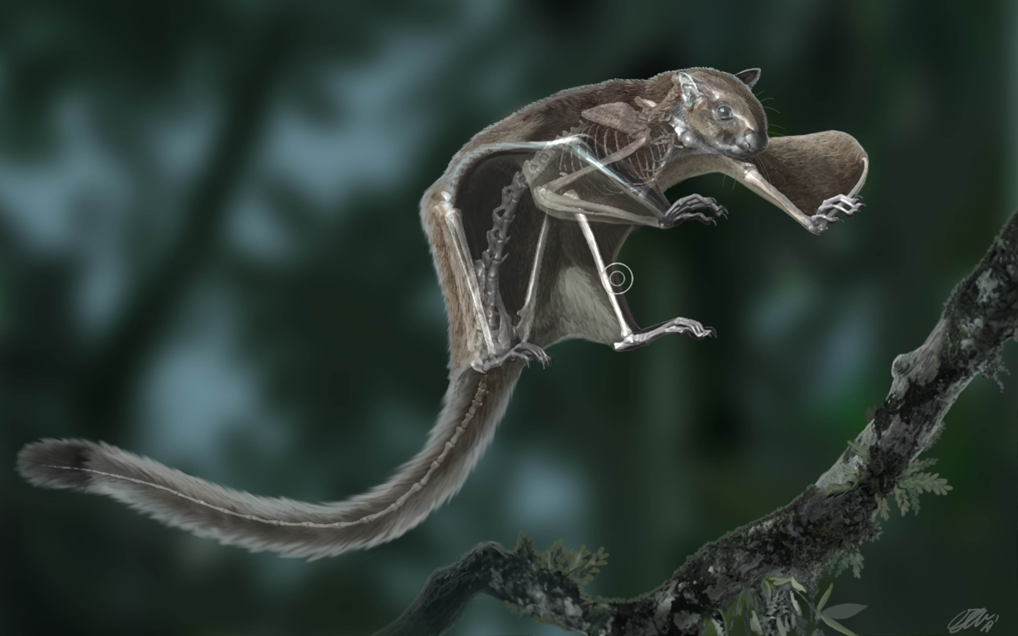 Flying squirrel - Miopetaurista - semitransparent showing the skeleton overlaid with tissues
