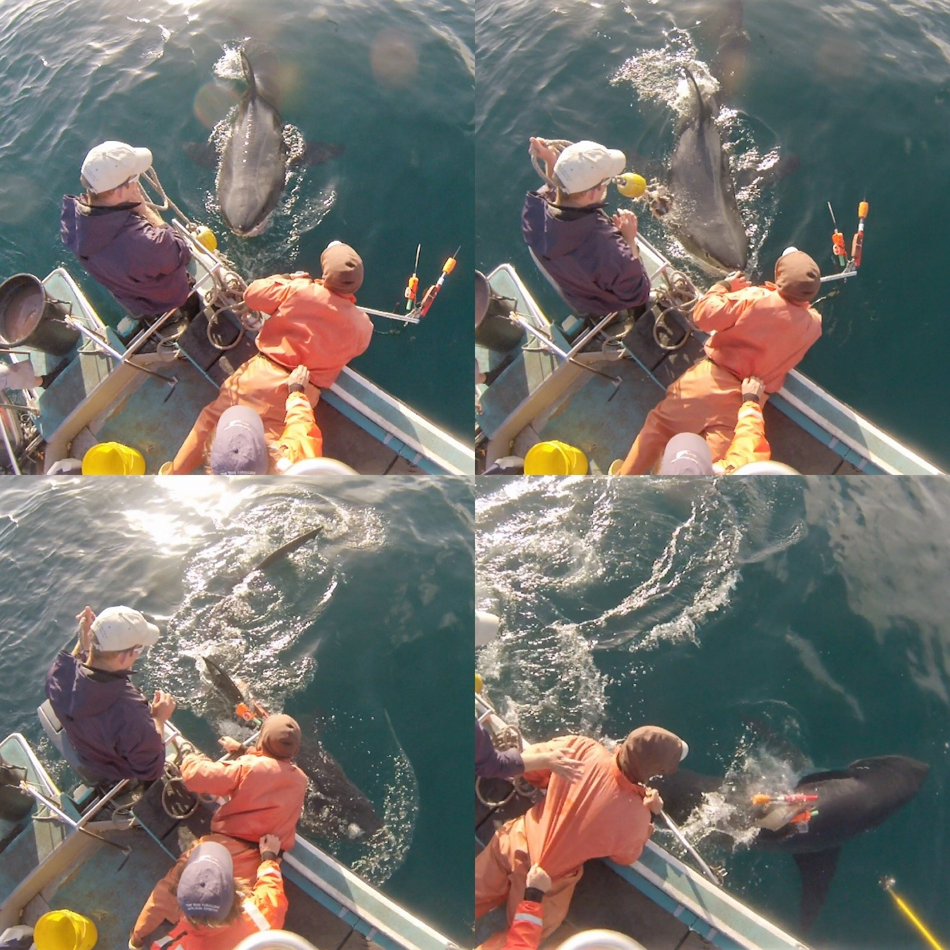 Camera tagging a white shark