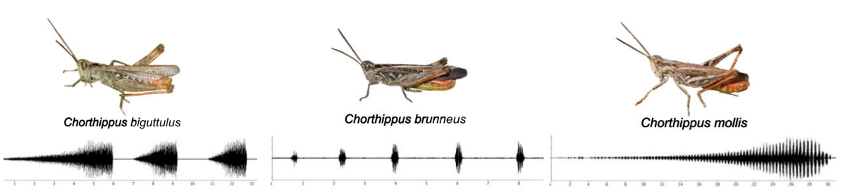 chorthippus grasshoppers and their songs