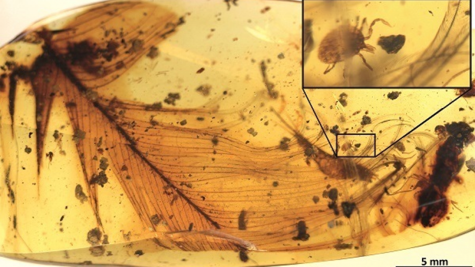 Tick found inside ancient amber with dinosaur feather.