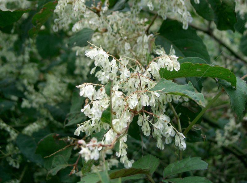 Japanese Knotweed flower