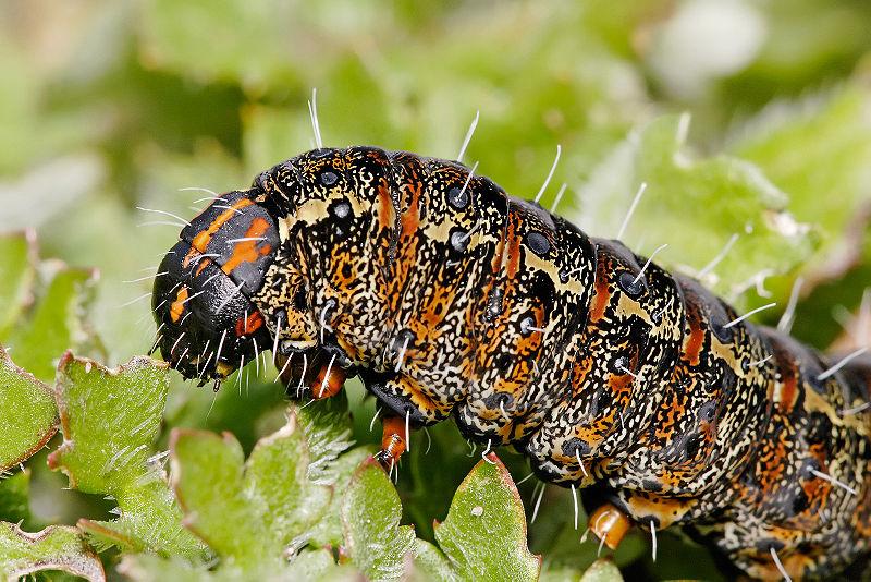 Pasture Day Moth Caterpillar, Apina callisto, specimen is approx 40mm in length. Taken in Swifts Creek, Victoria