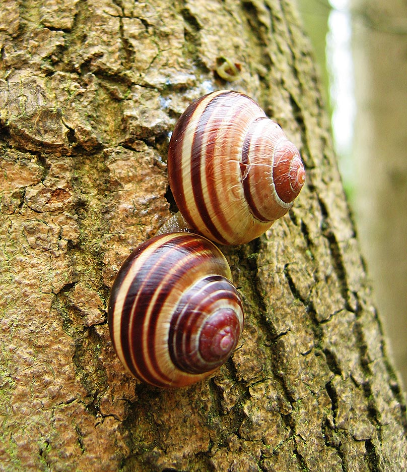 Cepaea nemoralis: Grove Snail or Brown Lipped Snail. Dormant pair on a tree trunk in Gamlingay Wood, Cambridgeshire, England, illustrating the variation in colouration of banded morphisms.