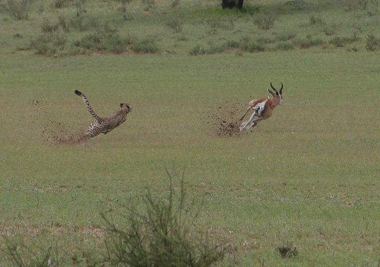 Cheetah pursuing an antelope