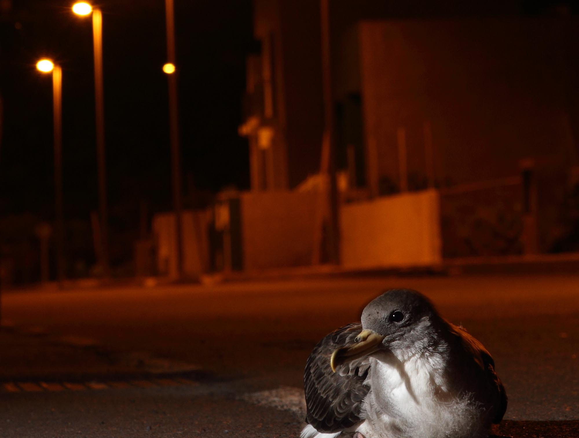 Light pollution can be problematic for animals like the Cory's shearwater.