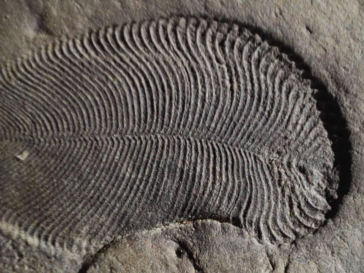 Fossil of Dinckinsonia
