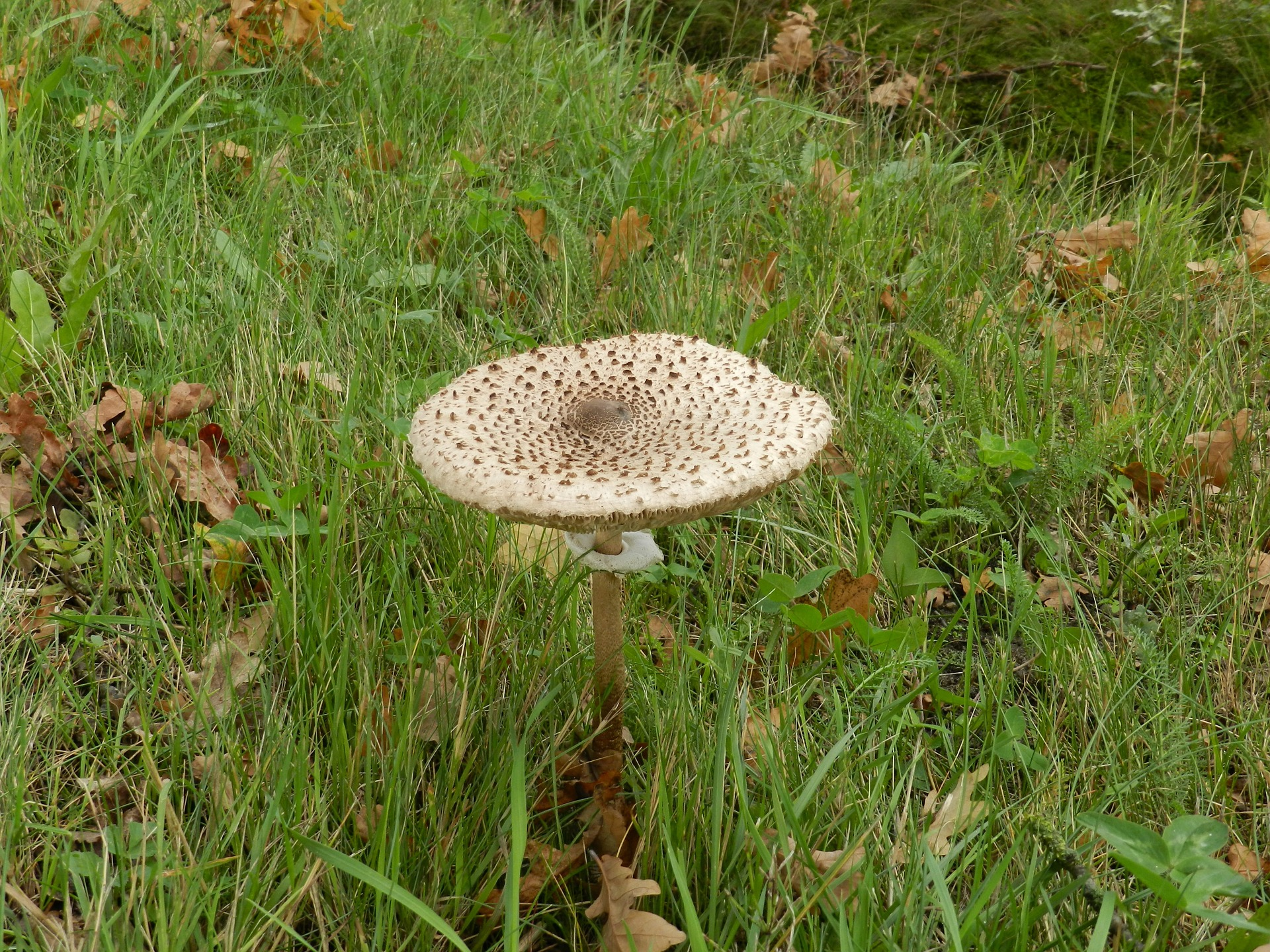 Macrolepiota procera, the parasol mushroom, is a basidiomycete fungus with a large, prominent fruiting body resembling a parasol. It is a fairly common species on well-drained soils. It is found solitary or in groups and fairy rings in pastures and occasi