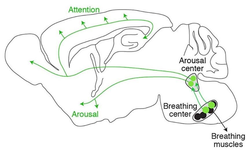 The diagram depicts the pathway (in green) that directly connects the brain's breathing center to the arousal center and the rest of the brain.