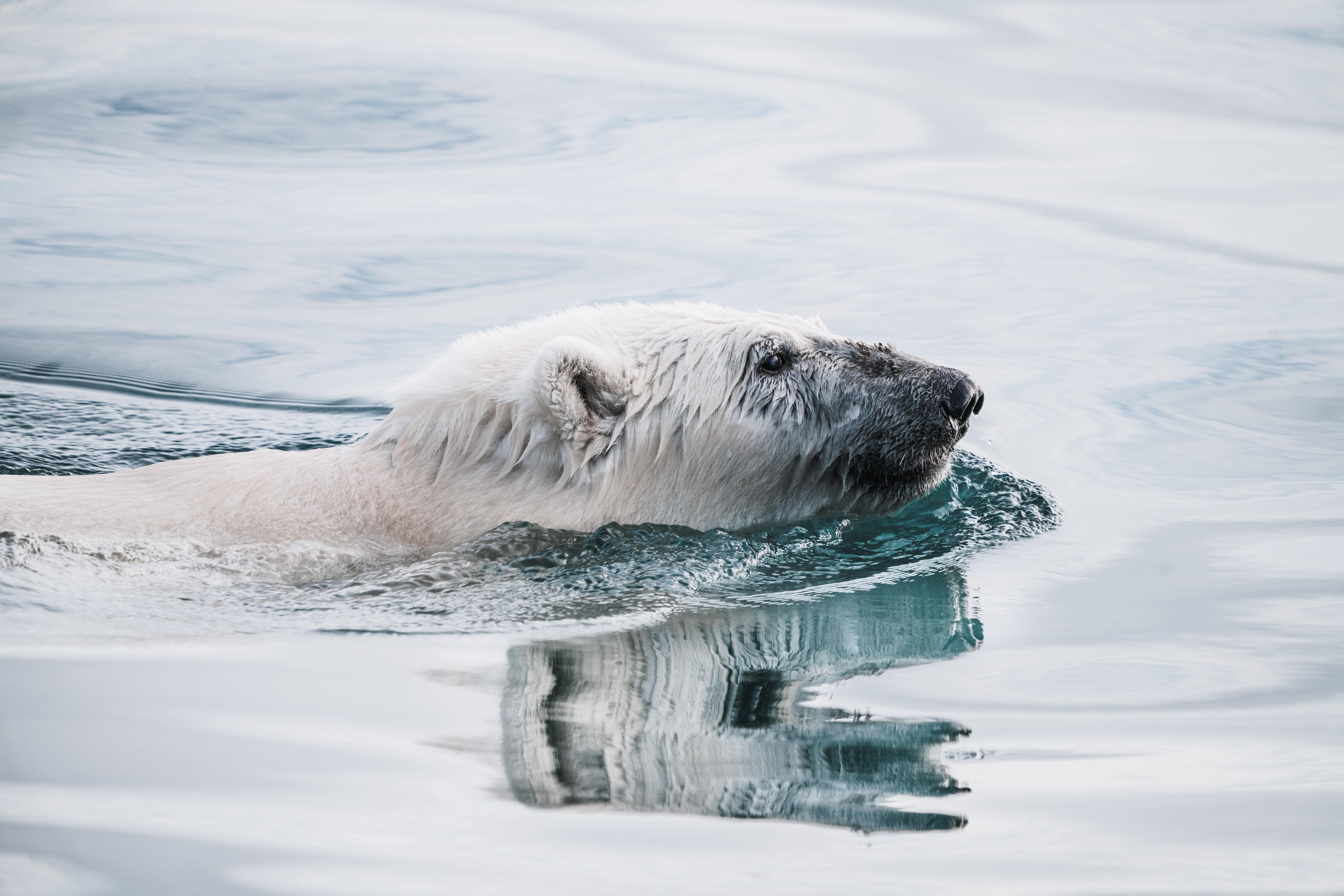A polar bear swimming