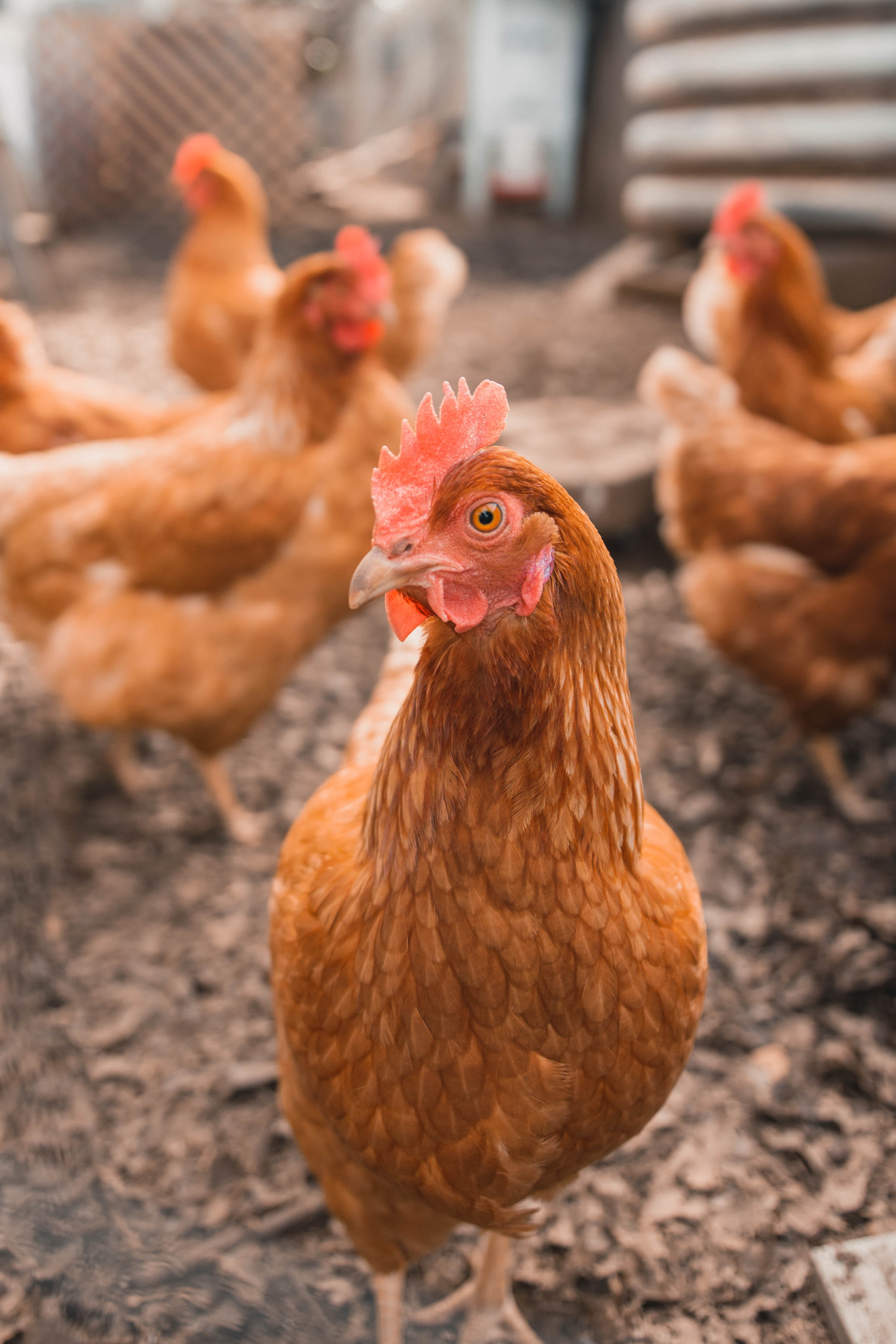 A free-range chicken on a farm