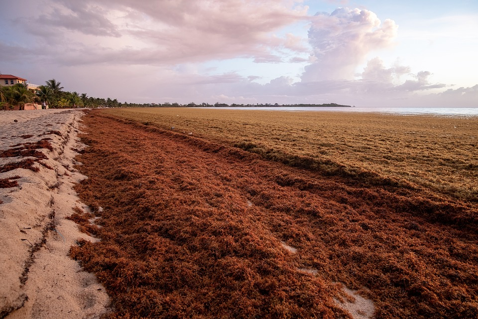 Sargassum seaweed on a beach in Belize.