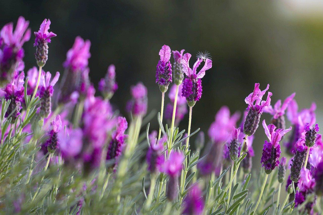 photo of a lavendar plant