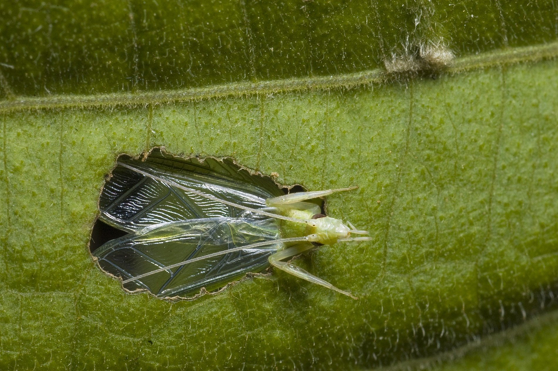 Tree crickets turn leaves into baffles to make themselves sound louder by making a hole in the centre.