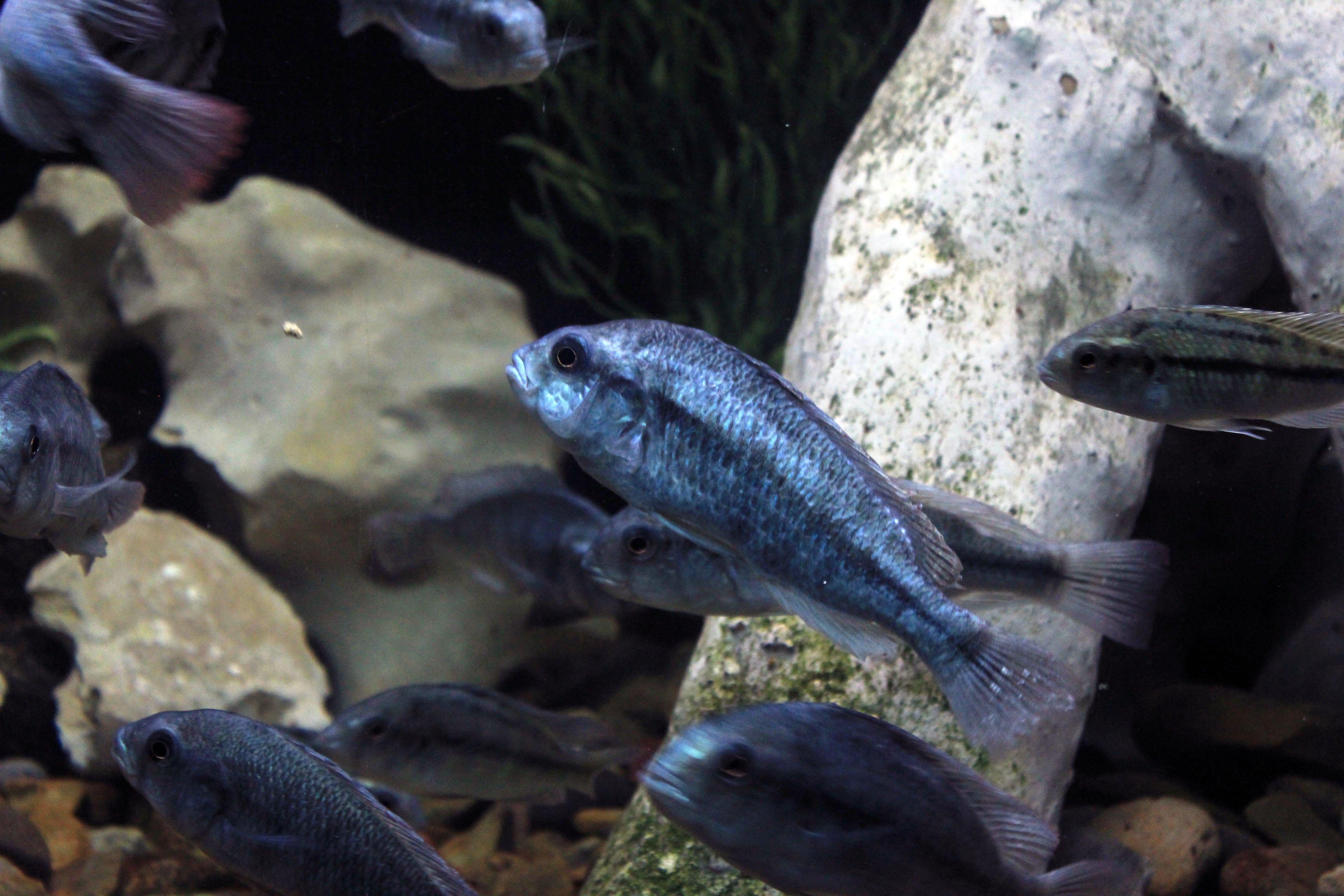 A Degeni cichlid among the rocks (Haplochromis degeni)