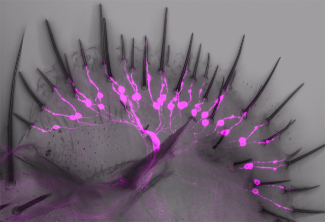 Drosophila labellum with a novel class of salt-aversive neurons labeled.