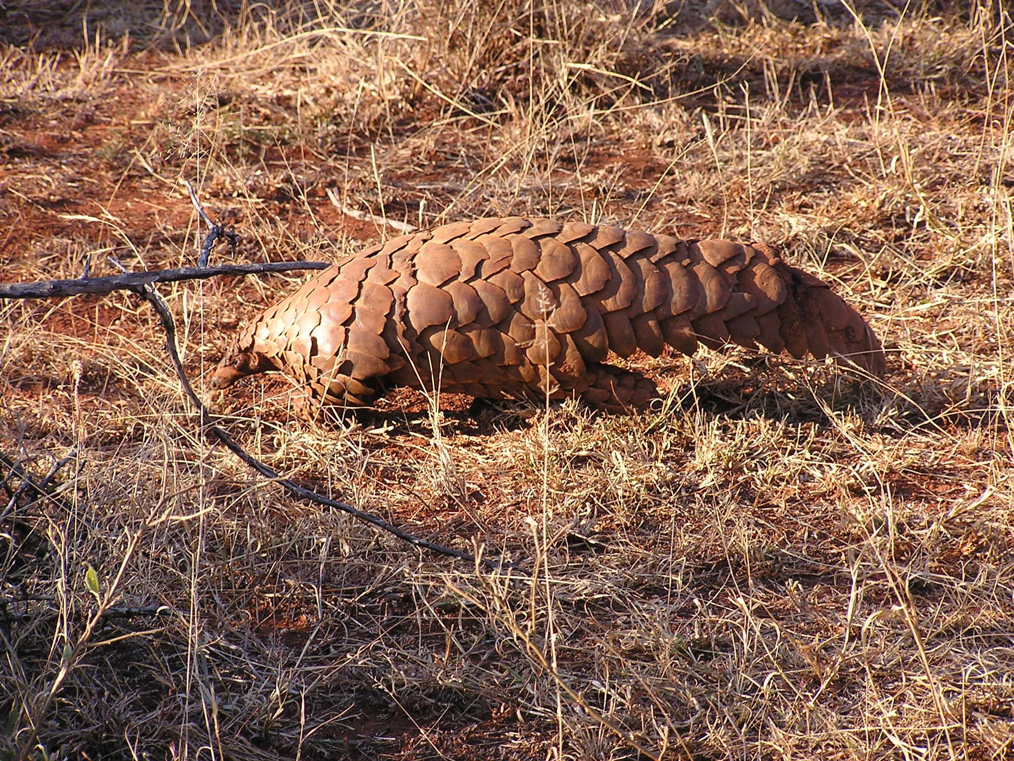 Pangolin (Manis temminckii) in South Africa