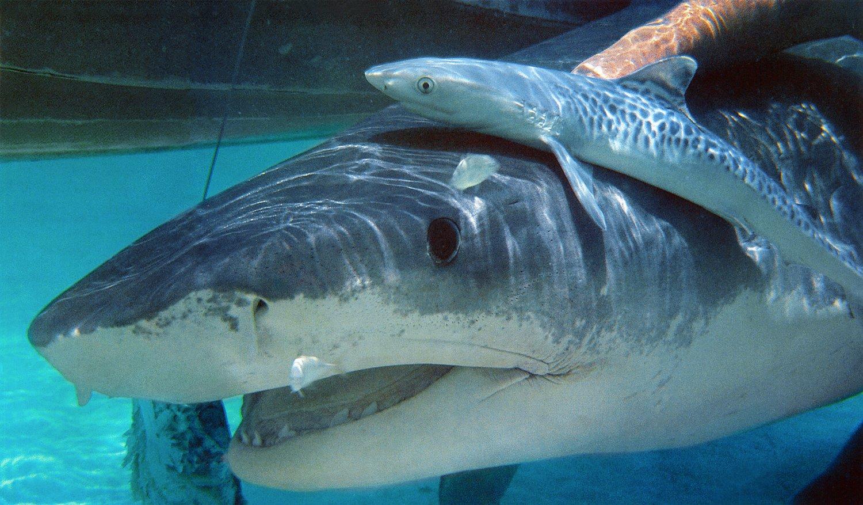 Pregnant tiger shark