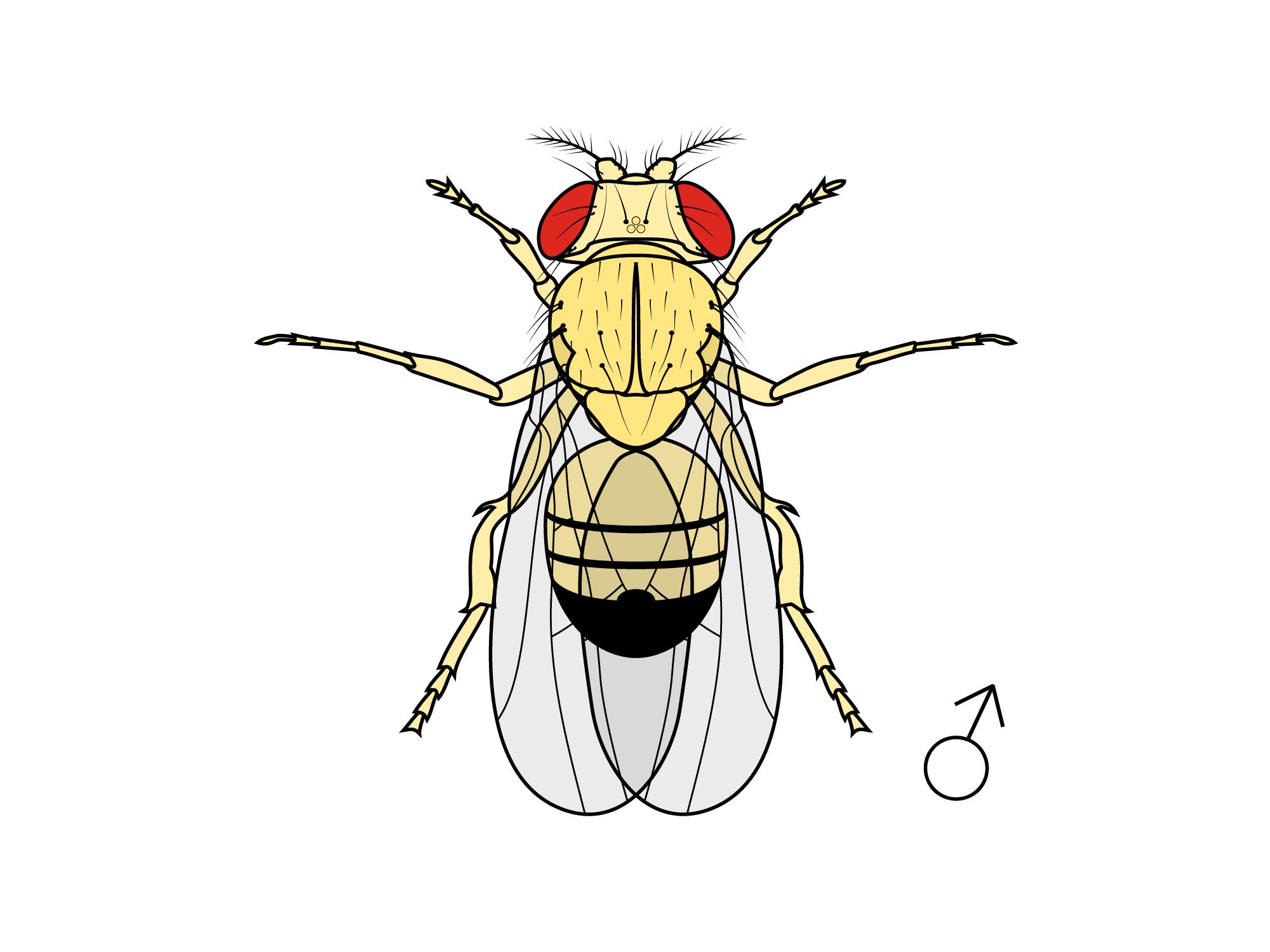 Yellow gene mutant drosophila