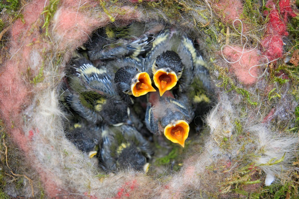 Hungry chicks waiting to be fed in a bird's nest