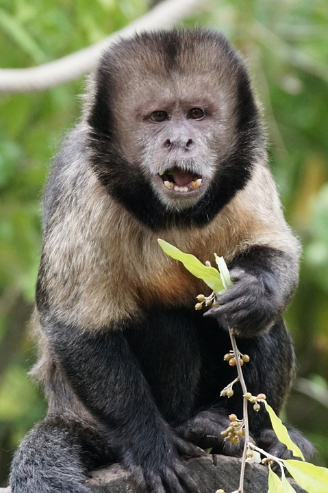 A yellow breasted Capuchin monkey eating some leaves