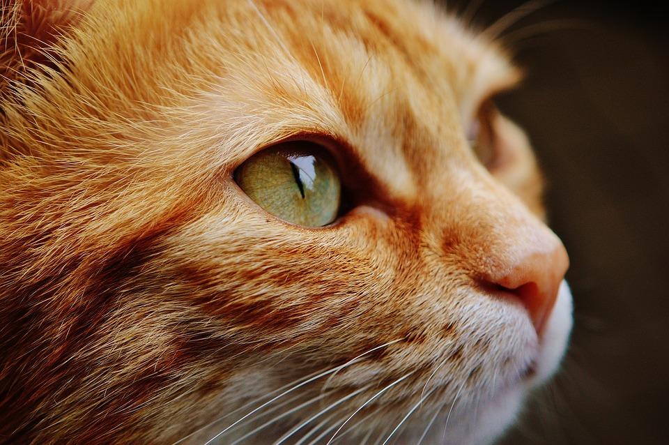 Ginger cat face