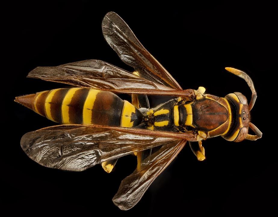 A European Paper wasp