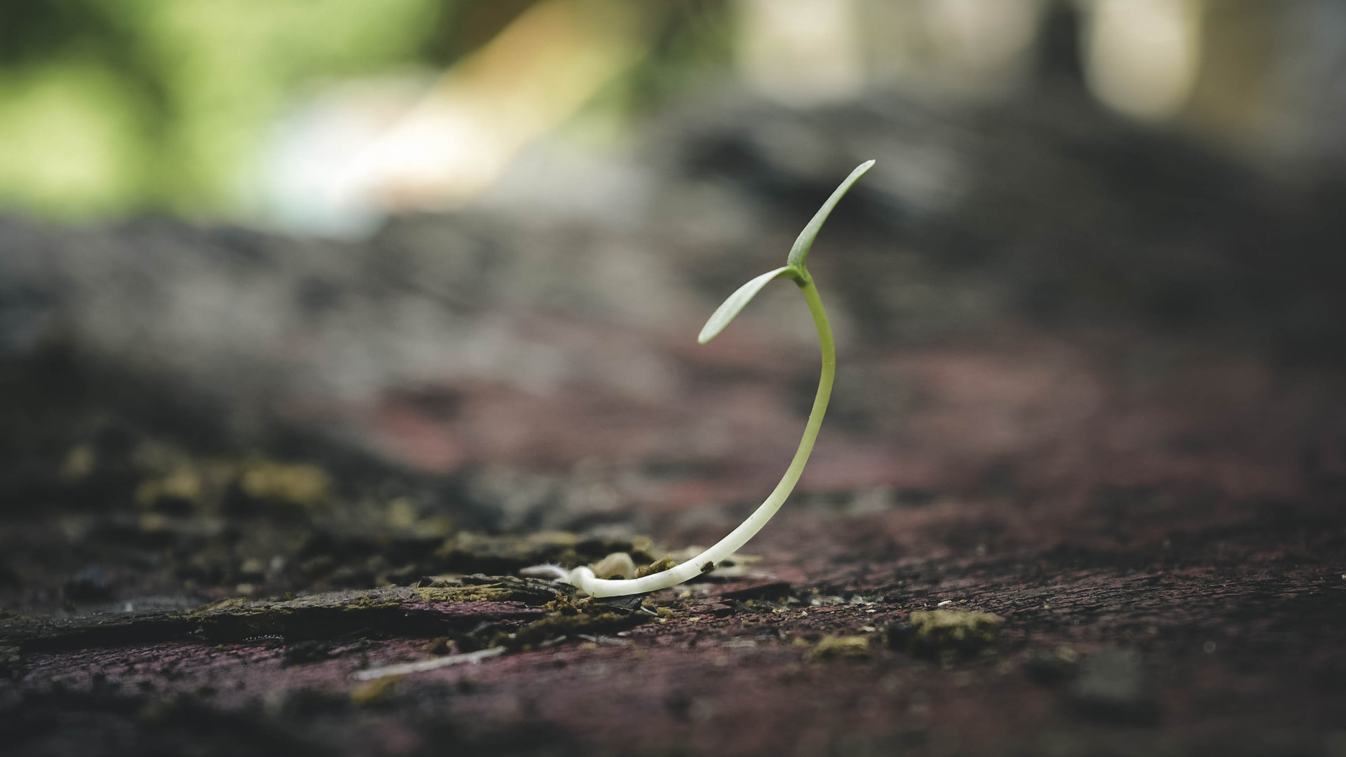 A germinating seedling