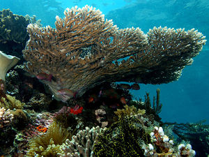 Table coral Acropora