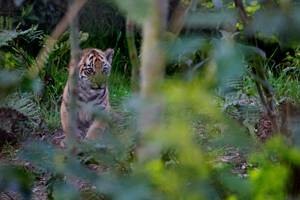 Tiger cub at London Zoo