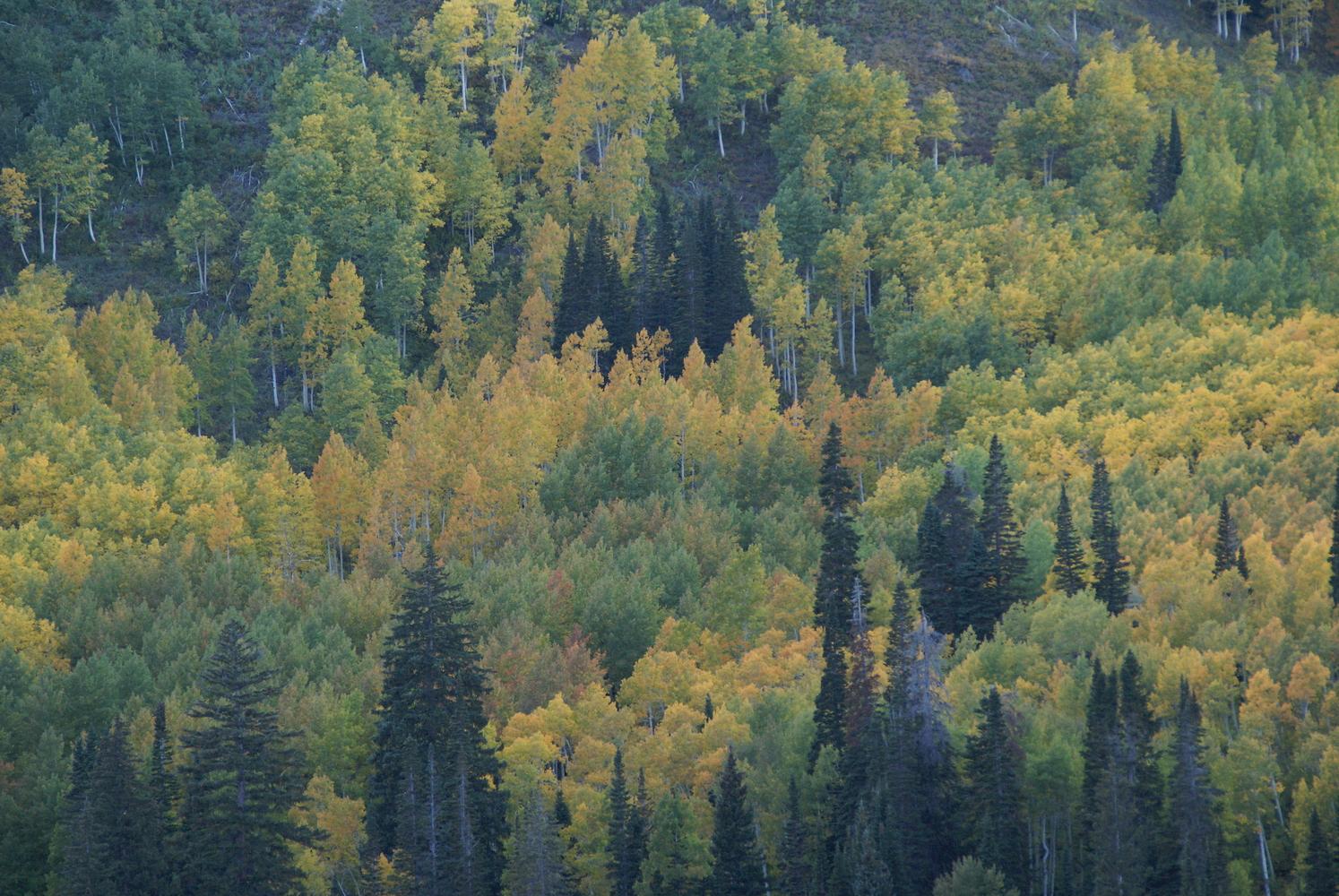 Utah forest