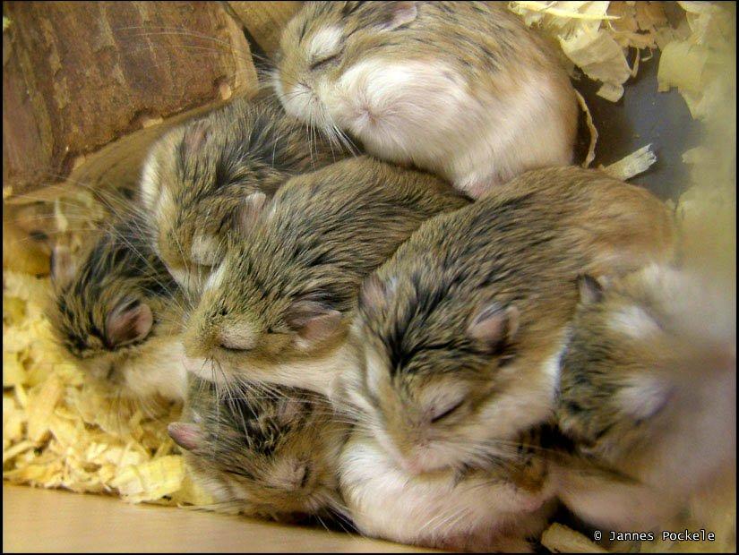 Sleeping hamsters piled up