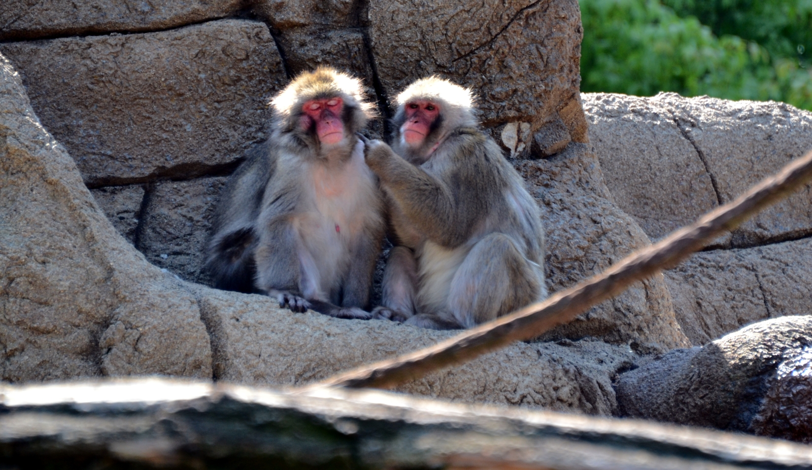 Macaques (Japanese snow monkeys)