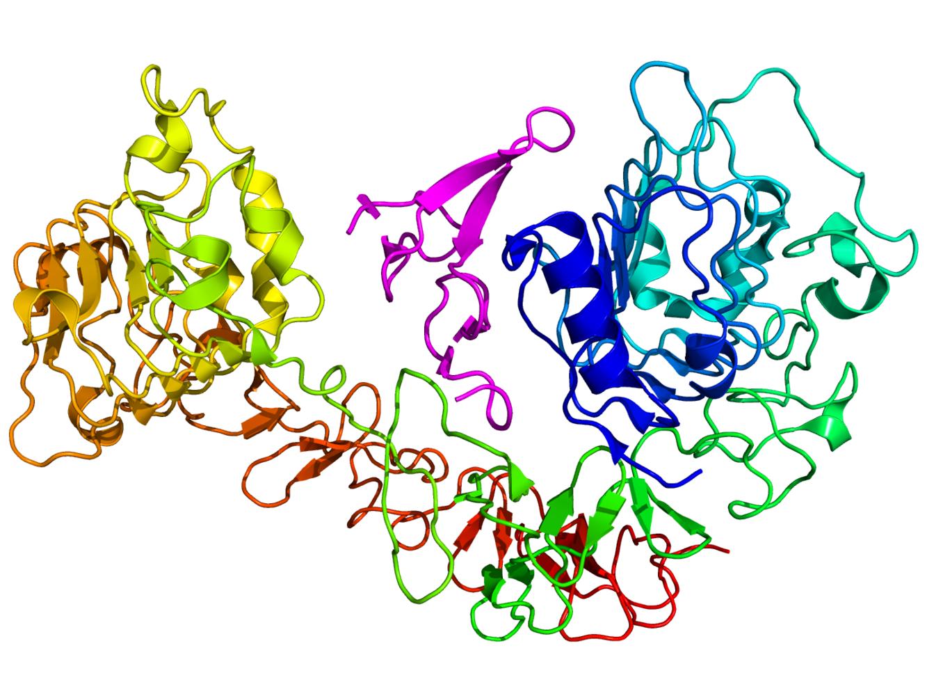 Cartoon diagram of the epidermal growth factor receptor (EGFR) (rainbow colored, N-terminus = blue, C-terminus = red) complexed its ligand epidermal growth factor (magenta) based on the PDB 1NQL crystallographic coordinates.