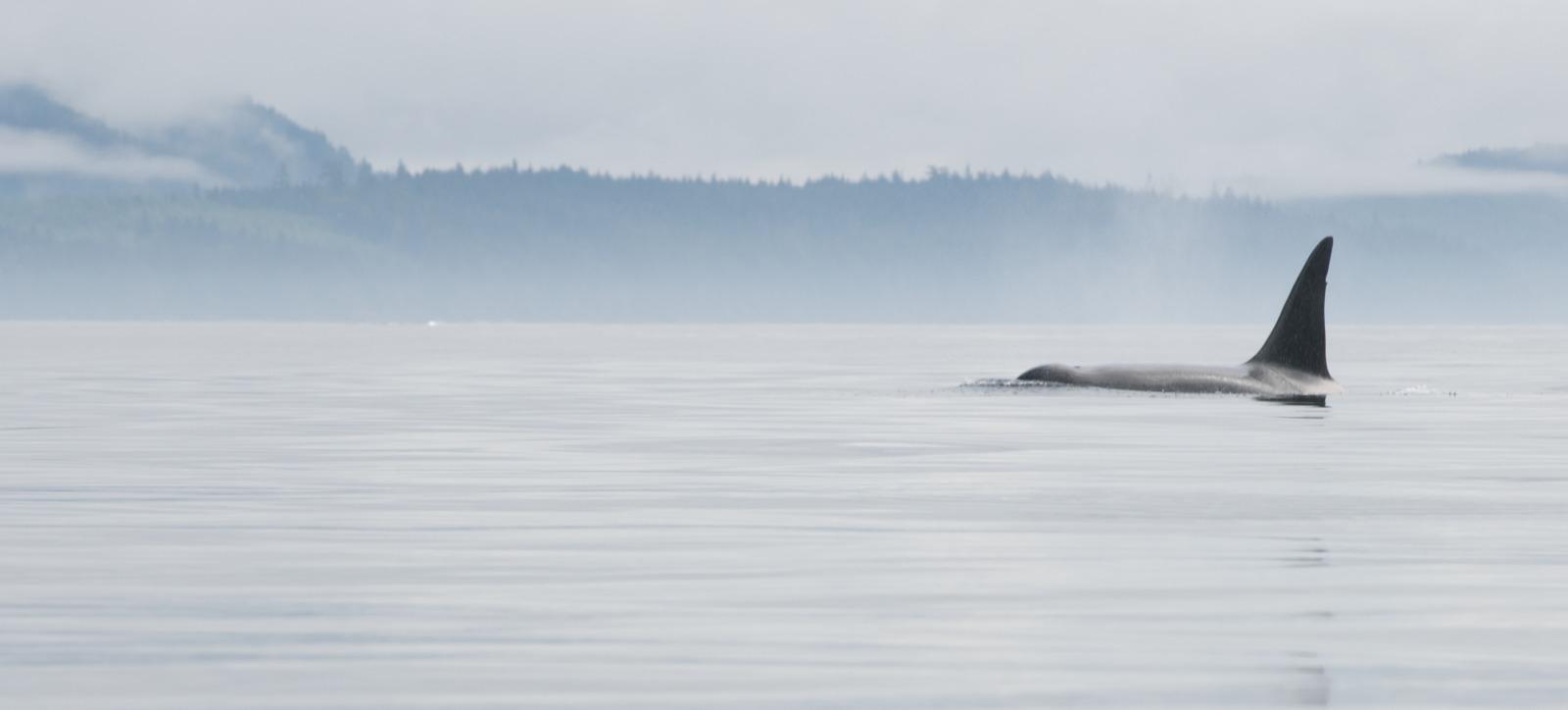 Orca on a calm day