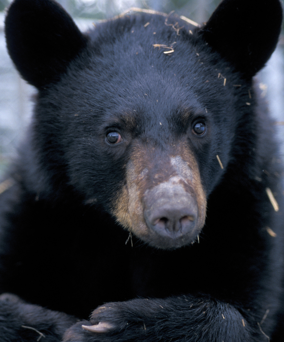 A young male American black bear after emergence from hibernation.