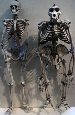 Skeletons of human and gorilla
