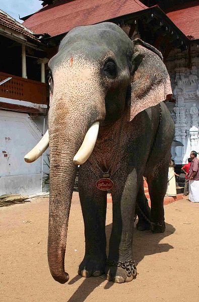An Asian Elephant named Sri Hari during Sree Poornathrayesa temple festival, Thrippunithura, Kerala, South India.