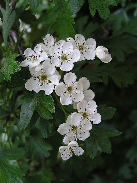 Common Hawthorn flowers.