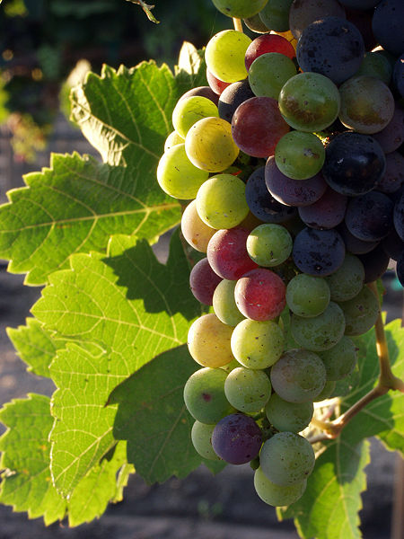 Grapes from the Guadalupe Valle, Baja California, Mexico, during the pigmentation stage.