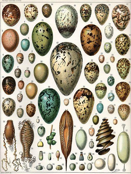Eggs, illustration by Adolphe Millot from Nouveau Larousse Illustré [1897-1904]