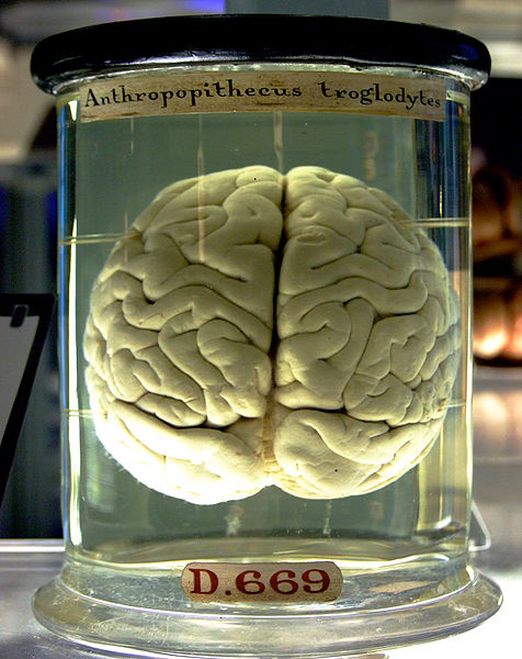 A chimpanzee brain at the Science Museum London